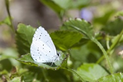 a holly blue butterfly celastrina argiolus on green leaves in summer