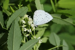 A Holly blue Butterfly, Celastrina argiolus, resting on a wildflower in a meadow.