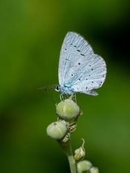 A holly blue butterfly (celastrina argiolus) seen perched on a flower bud in August