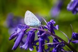 A Holly Blue butterfly on a Bluebell