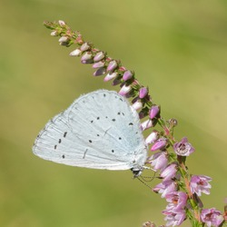 a holly blue butterfly on heather