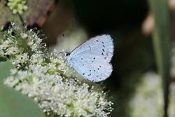 A Holly Blue enjoying some nectar (Celastrina argiolus)