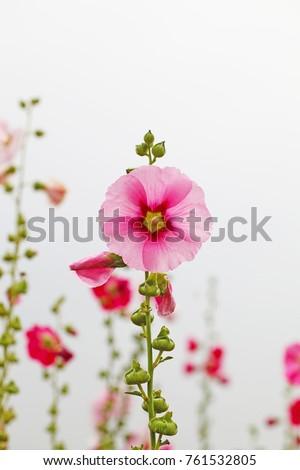 a hollyhock, a rose mallow in gyeongju