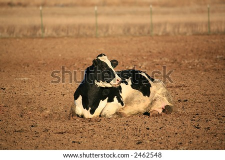 A Holstein cow laying in a dirt field - stock photo