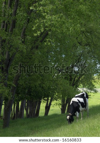 holstein dairy cow. stock photo : A Holstein dairy