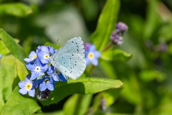 A Holy Blue is drinking nectar from a Forget-me-not Myosotis on the first warm day of spring.