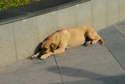 A homeless, lonely, yellow-colored young street dog sleeps on the pavement in the city.
