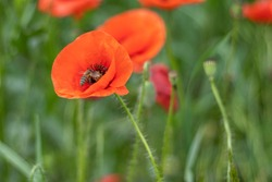 A honey bee collects pollen from a red poppy on a flower field. Selective focus.