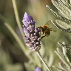 A honey bee feeds on a lavender flower