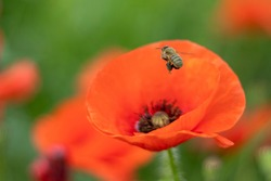 A honey bee flies next to a red poppy on a flower field. Selective focus.