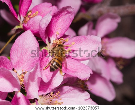 a honey bee pollinates a pink ornamental flower blossom