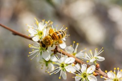 a honeybee collects honey on white cherry blossoms