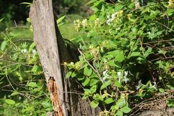 A honeysuckle vinw growing around an old tree stump