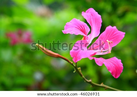 stock photo : a Hong Kong orchid flower and bud