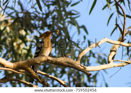 A Hoopoe Bird returning home with a worm for its offspring in the nest #759502456