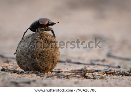 A horizontal, close up, colour photo of a reddish dung beetle on top of its meticulously rolled ball of dung, checking direction in the Greater Kruger Transfrontier Park, South Africa.