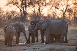 A horizontal, colour photo of a herd of elephants, Loxodonta africana, drinking from a dwindling waterhole at sunset in the Greater Kruger Transfrontier Park, South Africa.