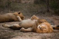 A horizontal, colour photograph of a male lion, Panthera leo, with his eyes open and full belly exposed in a comical supine position in the greater Kruger Transfrontier Park, South Africa.