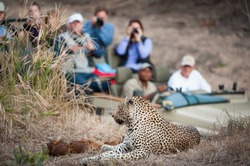 A horizontal, colour photograph of an in-focus leopard resting on a rise in the foreground with a safari vehicle filled with tourists looking on in the background, at Elephant Plains, South Africa.