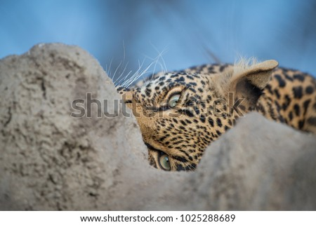 A horizontal, cropped, colour photo of a leopard, Panthera pardus, peering out at the camera between the peaks of a termite mound in the Timbavati Game Reserve, South Africa.