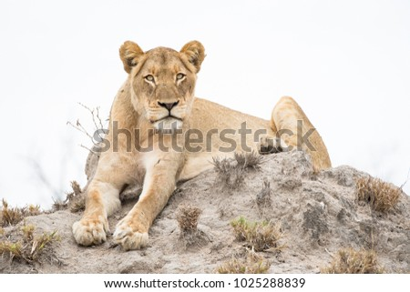 A horizontal, full length, colour photo of a golden lioness, Panthera leo, resting on a termite mound staring at the camera in the Timbavati Game Reserve, South Africa.