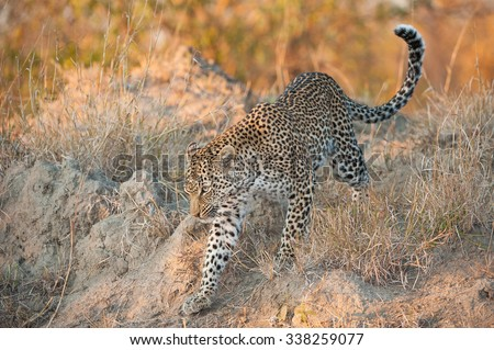 A horizontal, full length, colour photograph of a small leopardess,  ears back and eyes forward as she walks through dry earth and grass at Elephant Plains, Sabi Sands Game Reserve, South Africa. #338259077