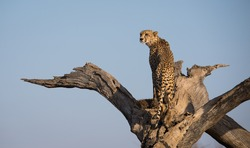 A horizontal photograph of one Cheetah (acinonyx jubatus) climbing a dead tree at sunrise in The Kruger National Park