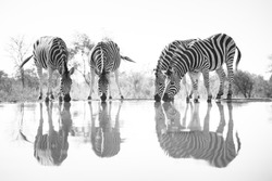 A horizontal, surface level, black and white image of a herd of zebra, Equus burchellii, reflected in a pool of water at a hide in Karongwe Game Reserve, South Africa.