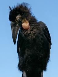 a hornbill stands like a sad bird, juvenile bird, bucorvus leadbeateri