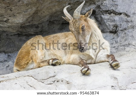 A horned mountain goat sitting on a rock ledge