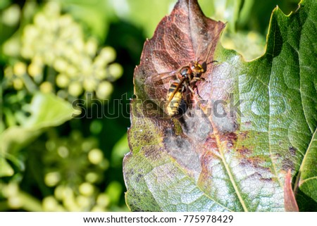 A hornet on a leaf macro picture