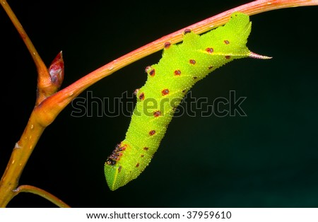 A horntail caterpillar hanging from a branch