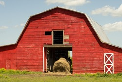 A horse feeds on haystack in an old barn on a rural farm.