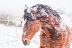 A horse in a paddock on a windy winter day. Visible snowflakes, wind and frost. Close-up of the horse's eyes and head. Winter scenery at the horse farm.