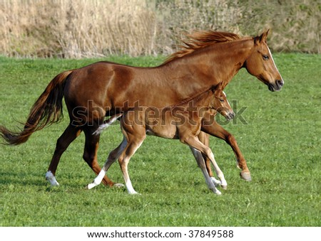 a horse mare with foal gallop perfect synchronous