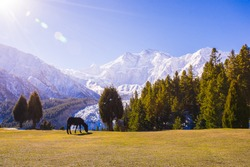a horse standing in beautiful landscape scenery with glacier and the peak of Nangar Parbat under sunshine in the morning.