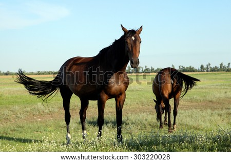 A horse walks in the field. The foal is walking with his parents in a meadow. Little pony. Thoroughbred horse breed. Thoroughbred a stallion. Three huge horse racing mares. many.