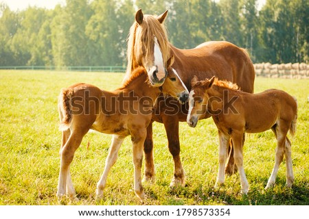 A horse with two foals is eating grass in the pasture. Portrait of horses on the background of nature. Horse breeding, animal husbandry Photo stock ©