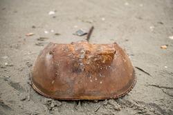 A horseshoe crab on the beach