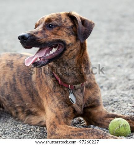 A hound enjoying his ball