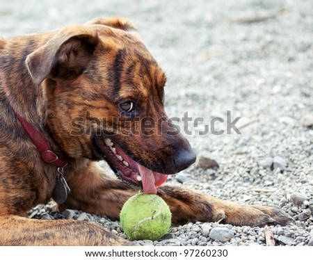 A hound enjoying his ball