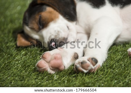 A hound mix puppy dog lies in the grass, focus is on paws (spring time nap)