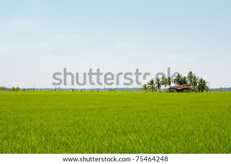 a house on young paddy landscap