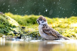 A house sparrow bathes in a creek and sprays water around it