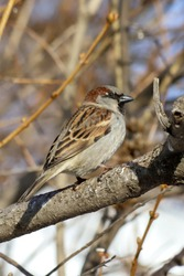 A House Sparrow (Passer domesticus) perched on a thick tree branch. Samara, Russia. Spring, March.