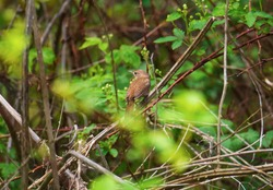 A house wren sits in brush at the Springville Marsh State Nature Preserve, Carey, Ohio.
