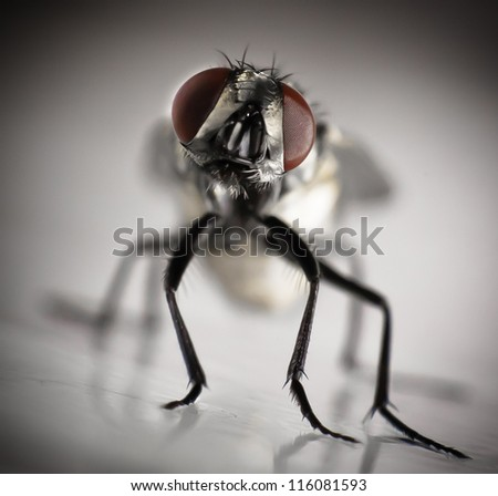 A housefly stuck to fly paper.