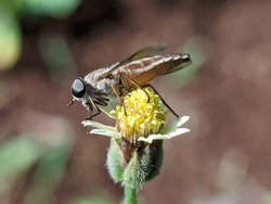 a hover fly insect perches on a wildflowe