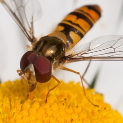 A hoverfly collects pollen from an ox eye daisy.