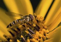 A Hoverfly feeding on a Rudbeckia flower